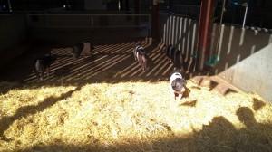 Wimpole piggies!